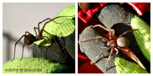 grosse araignée,mygale