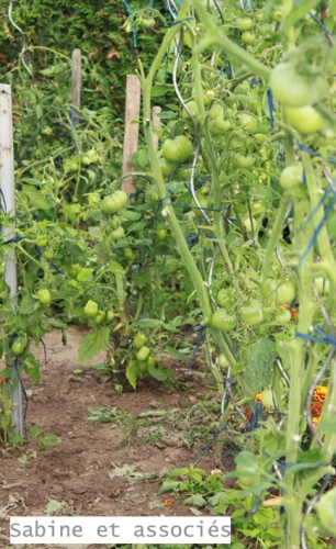 tomates-vertes.jpg